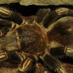 goliath-tarantula